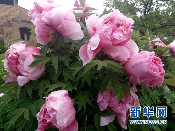 临洮第三届紫斑牡丹文化旅游节开幕