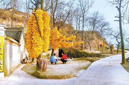 金灿灿的玉米棒成为礼县农家院里一道亮丽的风