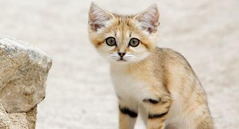 沙猫大耳朵长尾巴讨人喜