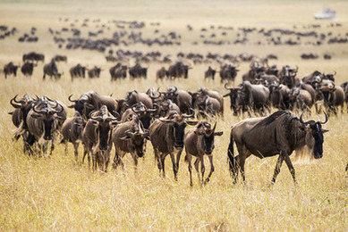 肯尼亚角马大迁徙
