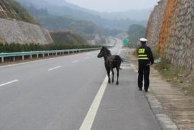 大马被栓高速路脱缰散步