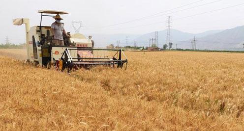 【摄影】临夏小麦开镰