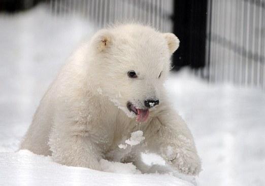北极熊幼崽的生活
