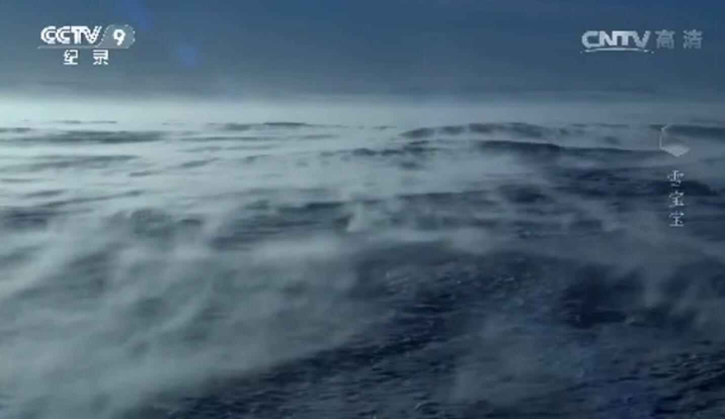 南极中帝企鹅宝宝的生活