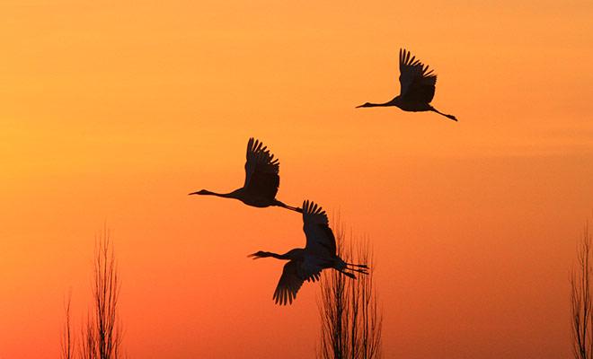 甘肅張掖:臘月濕地鶴影