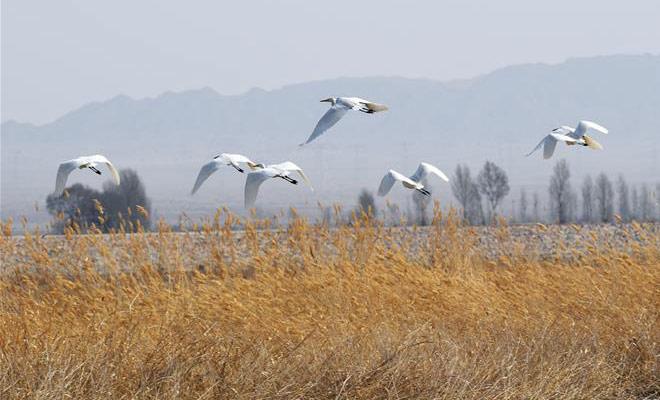 黑河濕地水鳥翔集