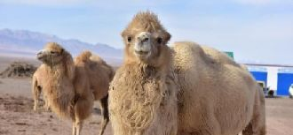 骆驼助肃北牧民增收致富