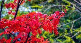 小隴山紅葉似火滿枝頭