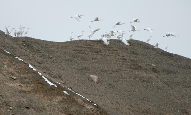 40余只大白鷺在敦煌莫高窟休憩