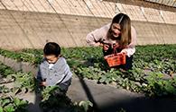 冬日草莓红 游客采摘乐