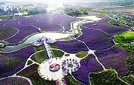 万亩紫金花绽放戈壁滩