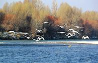 天鹅野鸭黑河悠然越冬