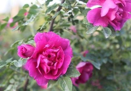 第十二屆中國玫瑰之鄉·蘭州玫瑰節5月20日舉行