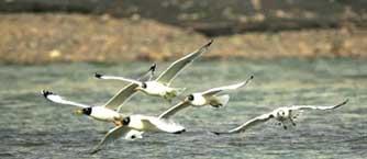 兰州黄河湿地迎来迁徙鸟类