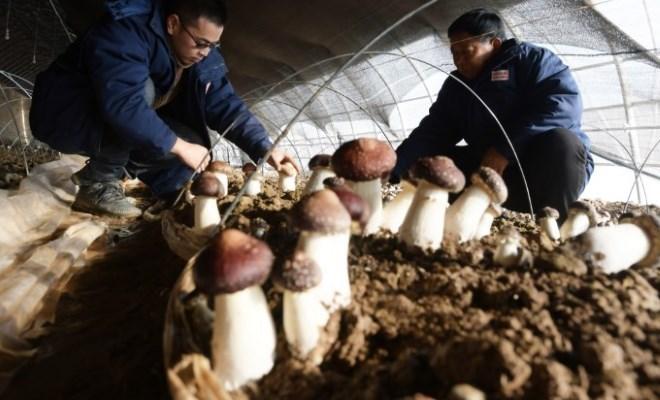 必威体育下载ios临夏:食用菌产业助增收