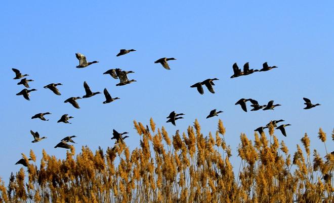 甘肃张掖:候鸟飞舞迎新春