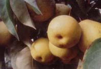 香脆纯美冬果梨