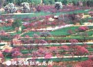 九龙川桃花(图)
