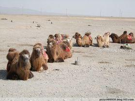 民勤历史上的赛驼习俗