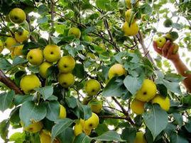 民勤苹果梨