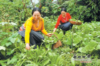 迭部电尕镇牧在自家庭院里采摘蔬菜