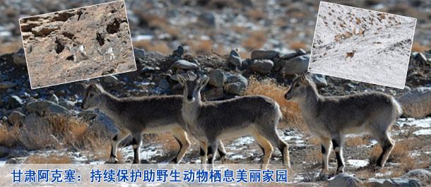 甘肃阿克塞:持续保护助野生动物栖息美丽家园